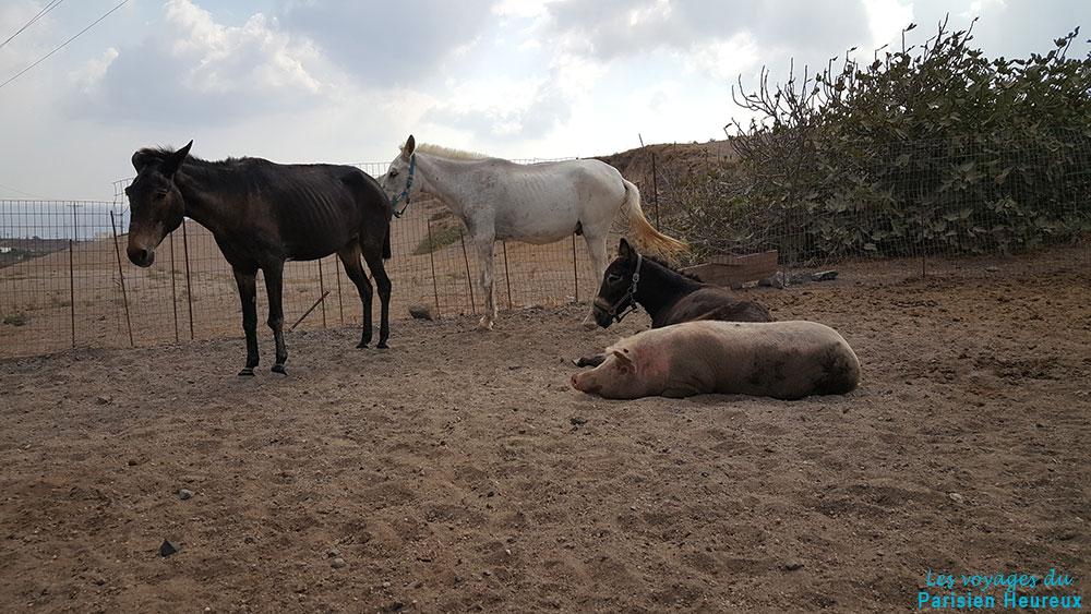 Ânes, mules et cochon !