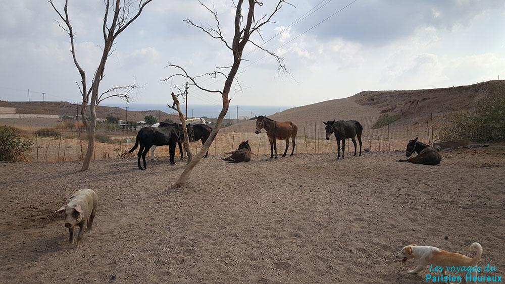 Les ânes et les mules recueillis au refuge de Santorin