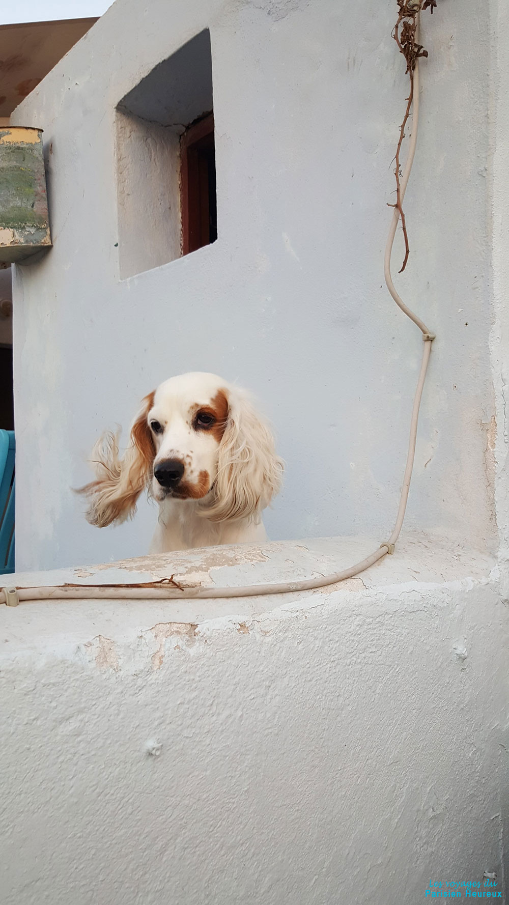 Chien à Santorin