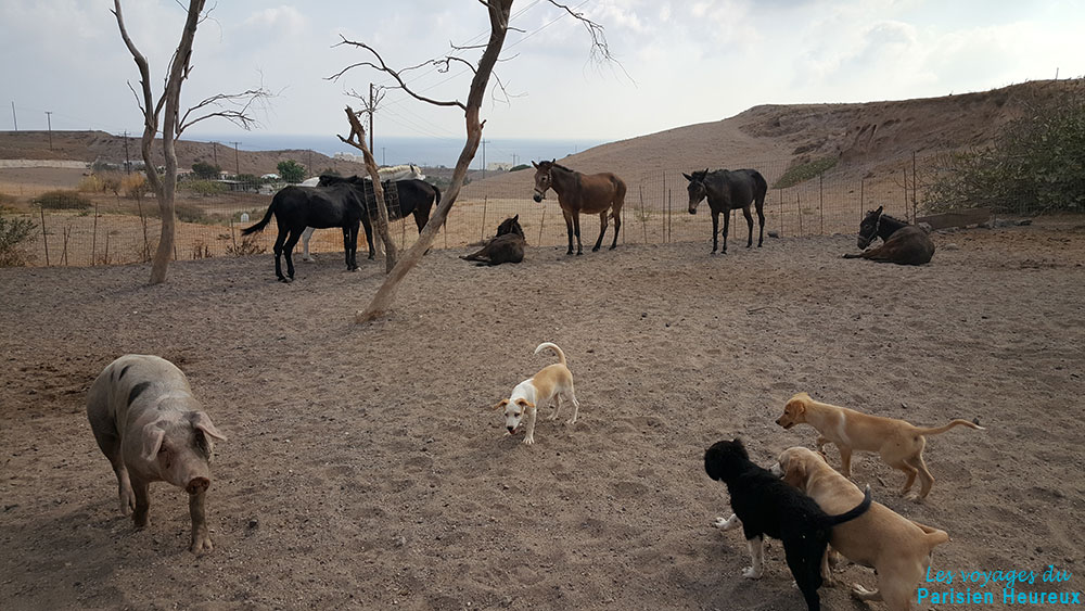 Ânes, chiens et cochon à Santorin