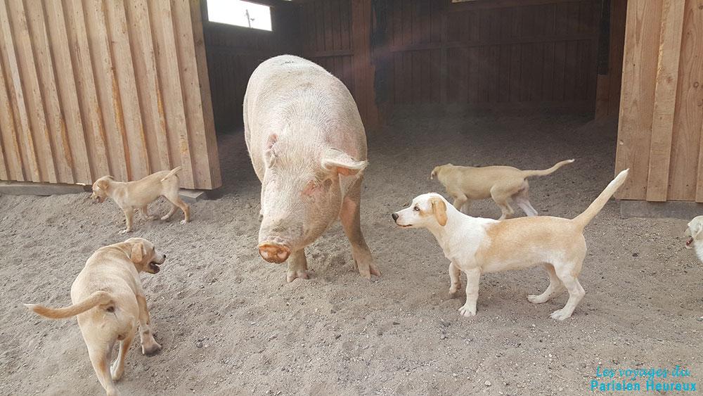 Cochon et chiens du refuge SAWA de Santorin