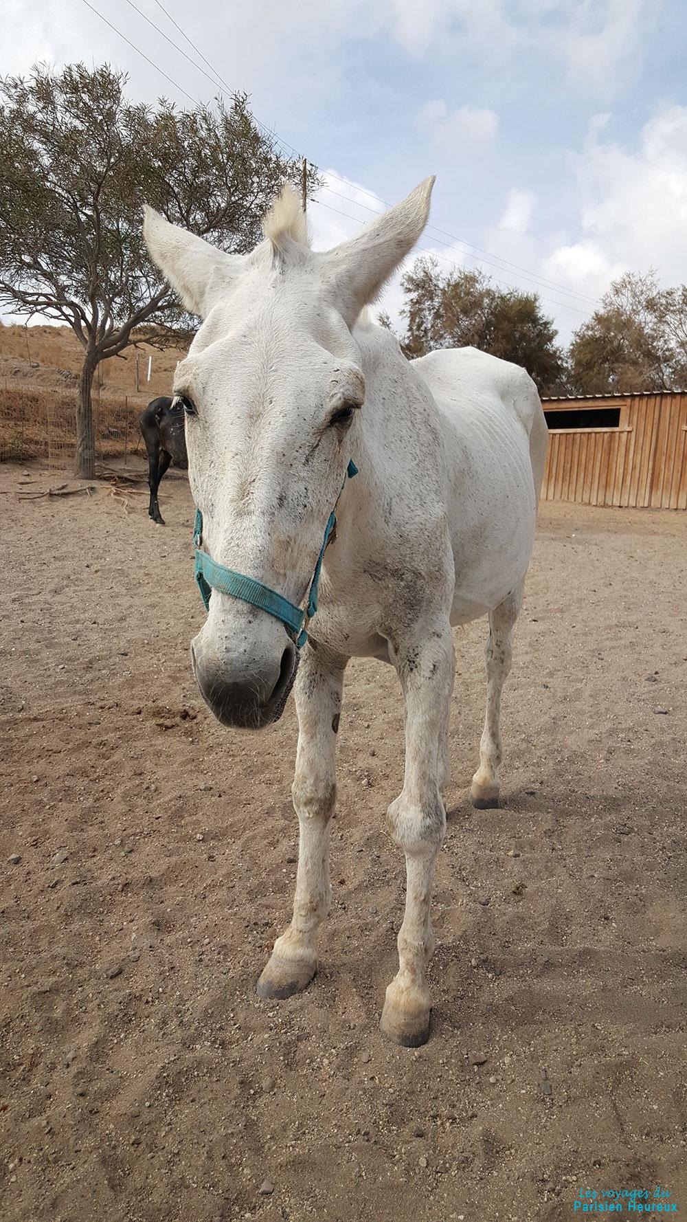 Mule blanche à Santorin